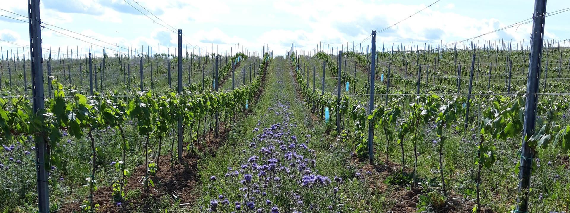 Steigler pince Sopron ültetvény